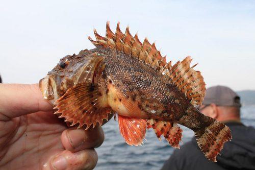 Скорпена (морской ерш) (Scorpaena porcus)