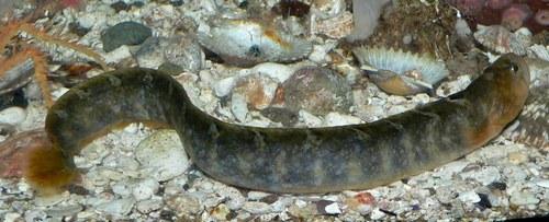 Обыкновенный атлантический маслюк (Pholis gunnellus)