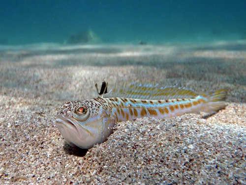 Морской дракончик (Trachinus draco)