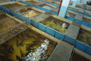 Индустриальное рыбоводство: особенности и специфика