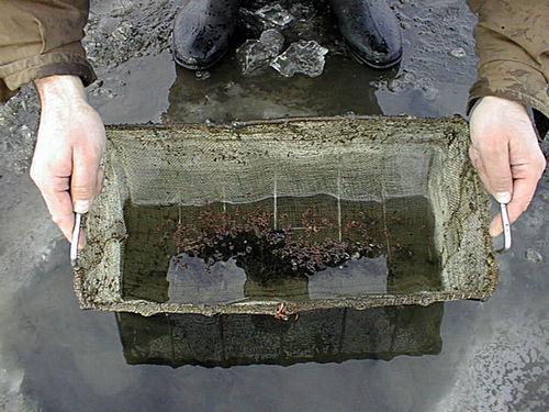 Мотыль в карасевом пруду, основа питания этой рыбы