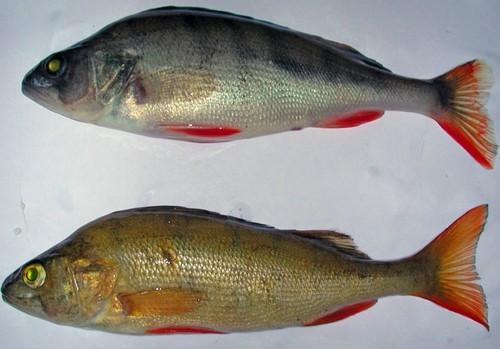 Ловля окуня на зимнюю блесну в глубоких водоемах