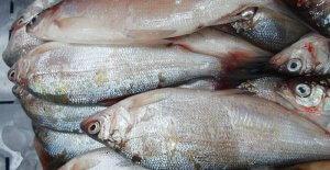 Улов речной рыбы пелядь