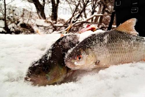Плотва и окунь - лучшие друзья рыболова в глухозимье.