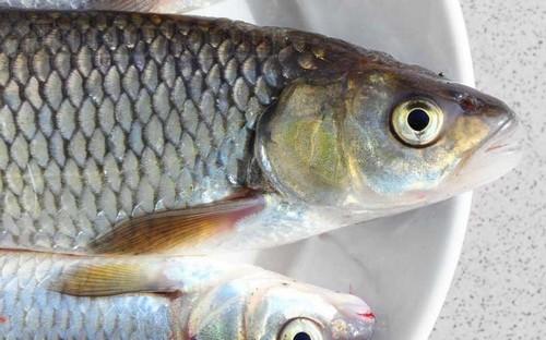 Рыба елец: описание и рыбалка