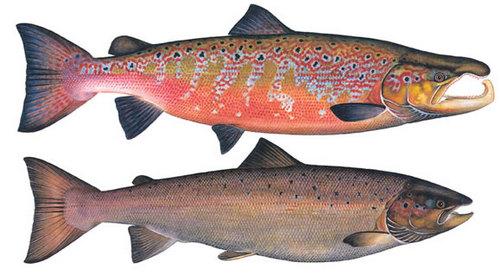 salmon-in-breeding-Сёмга
