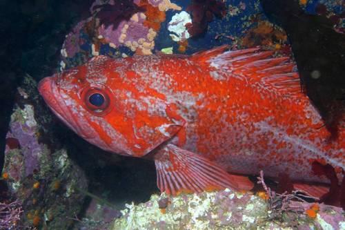 Морской золотистый окунь рыба (Sebastes)