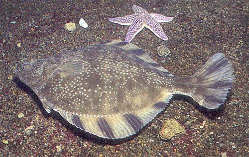 Камбала звездчатая (Platichthys stellatus)