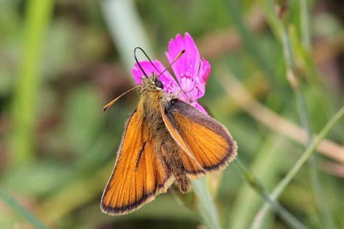Толстоголовка (Hesperiidae) - некрупная бабочка с короткими оранжевыми, сложенными буквой К крыльями и крупной головой пьет нектар из цветка гвоздики длинным хоботком