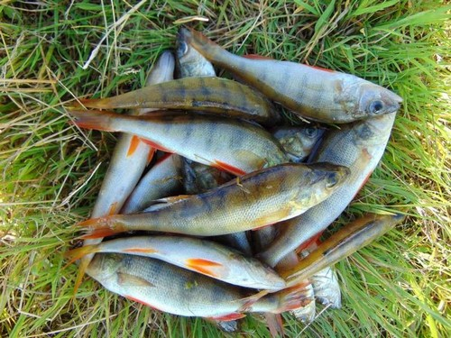 Береговая спиннинговая ловля окуня весной, особенности тактики и выбора снастей