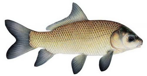 Биологические особенности рыбы буффало и основные способы ловли