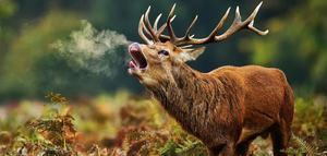 Можно ли охотиться на благородных оленей