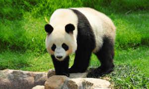 Как и другие представители медвежьих панды имеют массивное телосложение