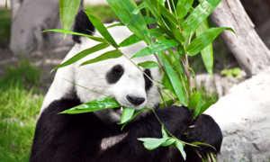 Основной рацион панды - бамбук, хотя ее предки были плотоядными