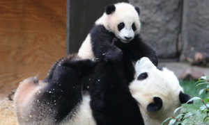 Большая панда заботится о детенышах до 18 месяцев