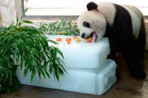 Панда ест не только бамбук, в рацион могут входить самые разнообразные продукты