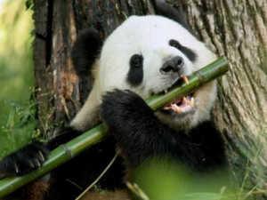 Где живет и чем питается большая панда или бамбуковый медведь?