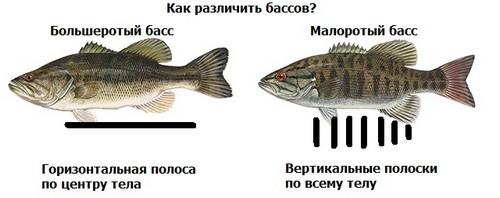 Как различить бассов