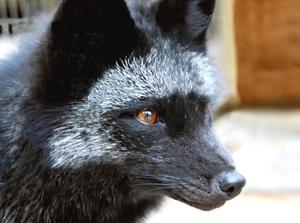 Животное чернобурая лиса