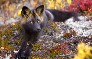 Порода лисы