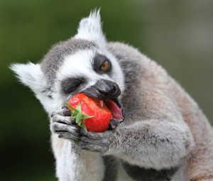 Лемуры питаются фруктами или насекомыми, в неволе - всеядны