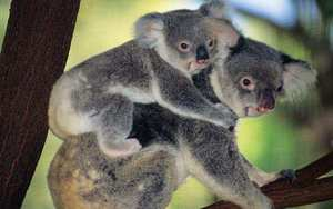 Где живут коалы