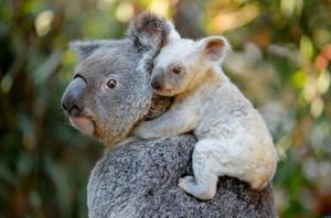 Малыш коалы