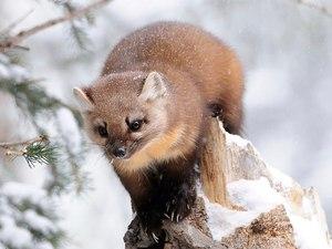 Желтодушка зимой в лесу
