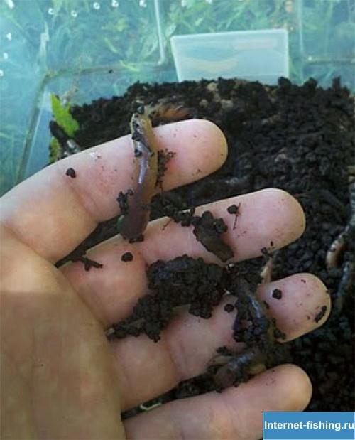Как вырастить червей для рыбалки