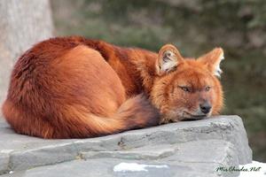 Какие повадки у красного волка