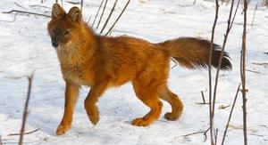 Внешний вид красного волка