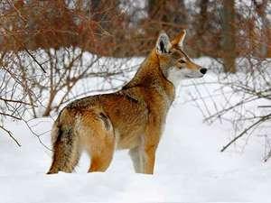 Социальное поведения красного волка
