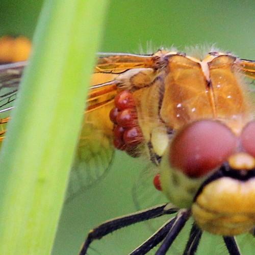 Увеличенный фрагмент: жёлтая стрекоза с сетчатыми крыльями сидит на травинке, а под её правым крылом гроздь присосавшихся клещей