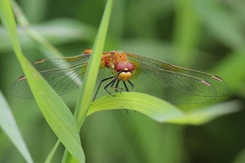 Жёлтая стрекоза с сетчатыми крыльями сидит на травинке, а под её правым крылом гроздь присосавшихся клещей
