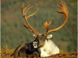 Как живут северные олени