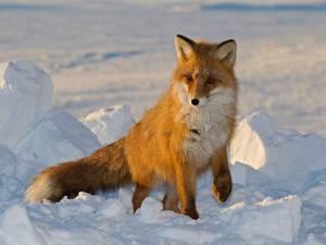 Обыкновенная лисица зимой - утепленная