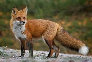 Лисица обыкновенная - особенности вида