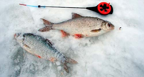 Поплавочная снасть для ловли плотвы в феврале
