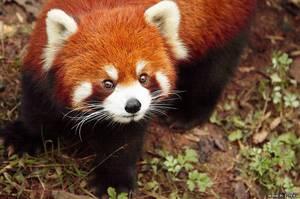 Красная панда описание