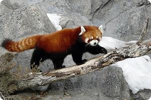 Еда для рыжей панды