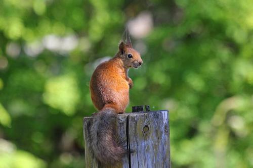 Рыжая белочка с пушистым хвостом и кисточками на ушах сидит на бревне забора