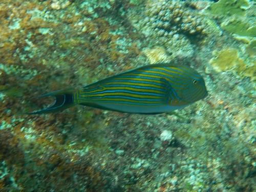 Полосатый (пижамный) хирург, Acanthurus lineatus - тропическая рыба с желтыми и синими полосками вдоль тела в Андаманском море у островов Симилан