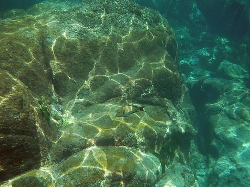 Полосатый (пижамный) хирург, Acanthurus lineatus - тропическая рыба с желтыми и синими полосками вдоль тела обгладывает кораллы на покрытых солнечными бликами камнях в Андаманском море у островов Симилан