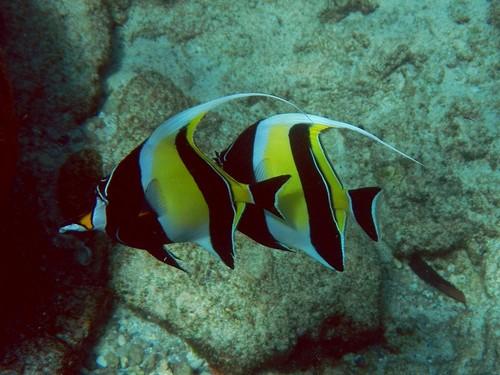 Два рогатых занкла, он же мавританский идол (Zanclus cornutus) под водой у камней островов Симилан - бело-желтые рыбы с черными полосками и длинным спинным плавником