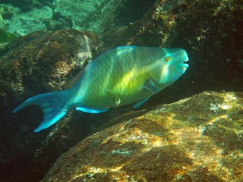 Рубиново-пепельный скар (самец) он же рыба-попугай красно-фиолетовая, Scarus rubroviolaceus среди камней и кораллов побережья островов Симилан в Андаманском море