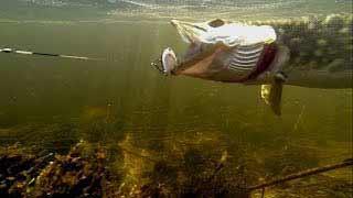 щука приманки в воде