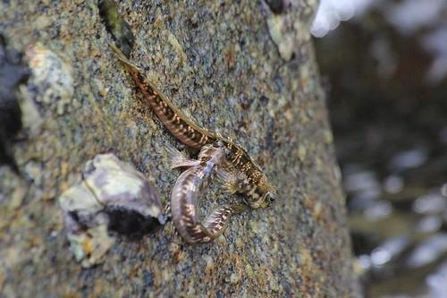 Скальный прыгун (Alticus saliens) или Тихоокеанская прыгающая собачка (Alticus arnoldorum)