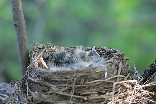Птенцы дрозда-белобровика (Turdus iliacus) спят в гнезде