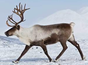 Где обитает северный олень