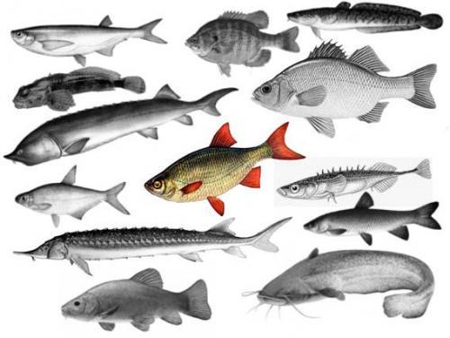 Рязань. Рыбы Оки